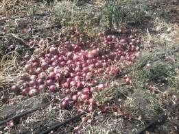 Red Fresh Onions for Sale