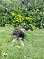 Vaccinated German Shepherd Puppies at 22K