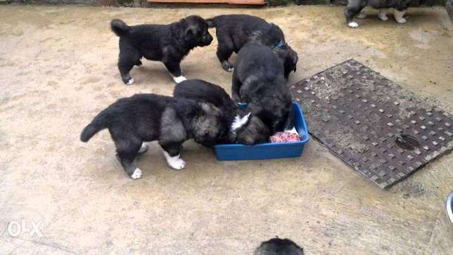 Caucasian Puppies 2female & a male left Port Harcourt - image 1