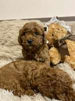 """Toy Poodle Puppies Ready for reservation """" Imported"""""""