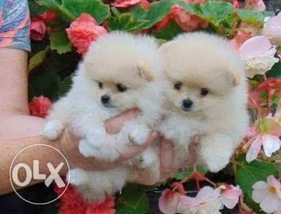 Adorable teacup Pomeranian puppies available for sale