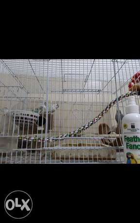 3 Australian budgies only birds and layed eggs