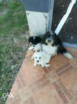 Maltese for sale at 7500