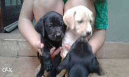 Puppies pointer Labrador mix