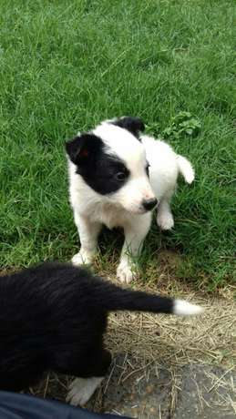 Pure Bred Border Collie Male Puppies Vryburg - image 6
