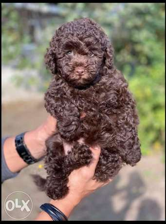 Get Your Brown Toy Poodle From Europe