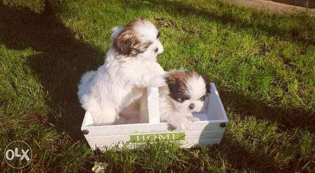 Reserve ur shih tzu puppy with Passport, pedigree and microchip