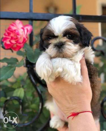 Imported Shihtzu puppies for sale,top quality with Pedigree,All colors مدينة الرحاب -  3