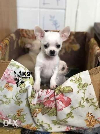 Female Chihuahua (Shiwawa) now Available for sale