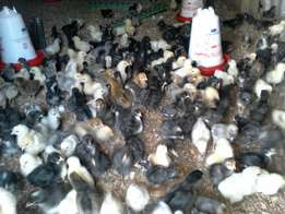 One day to one month old chicks on sale