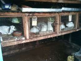 2 months old rabbits