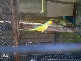 mature male lutino ringneck