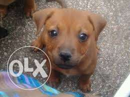 Lovely ridgeback crossed puppies for sale