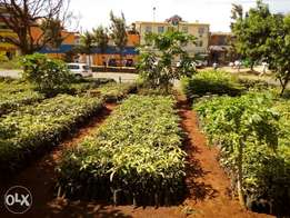 grafted fruits seedlings for sale