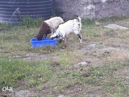 Male Goat and lamb