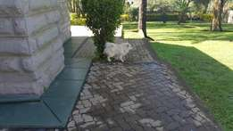Japanese Spitz For Sale