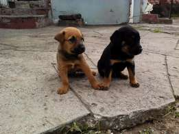 lovely puppies for sale
