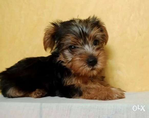Available male and female mini Yorkshire 45 days