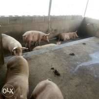 Pigs for Sale- Weaners and Fatteners