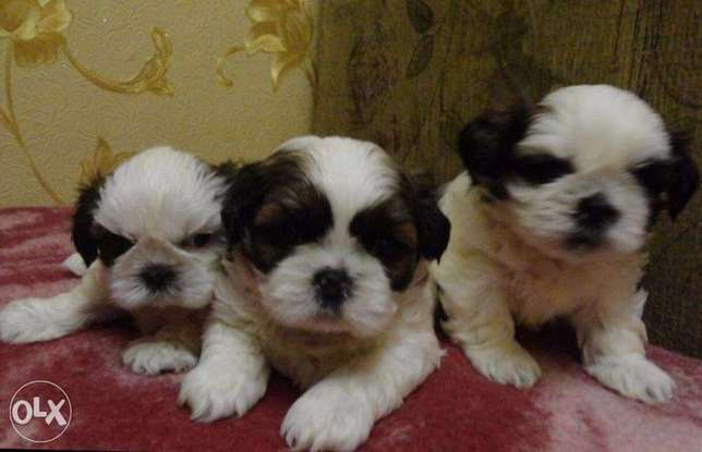 Get Your Mini Shihtzu puppy From Ukraine To Egypt Within 7 Days