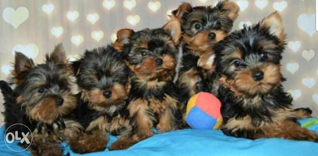 Cutest imported mini Yorkshire puppies for sale