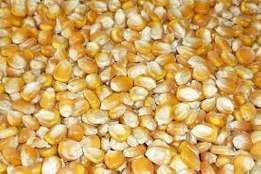 Quality and Dried Yellow Maize/Corn for Animal Feed,Soybean Meal