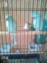 2 x blue ringneck pairs for sale and a cage per pair.