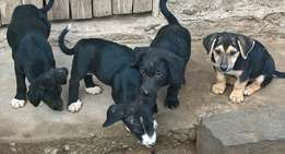 black jack russel and german shepherd mix puppies,one remaining,female