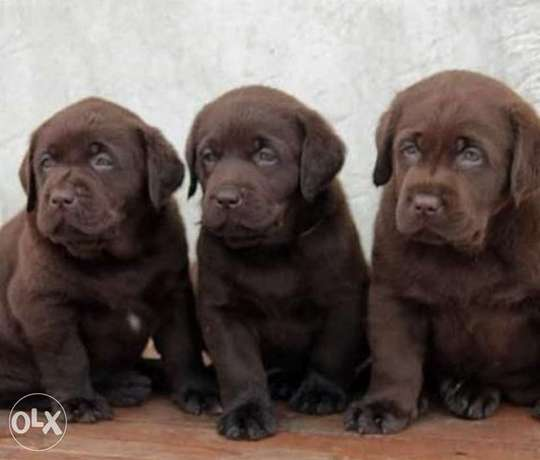 Chocolate Labrador puppies, imported with Pedigree and passport