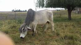 Brahman bull for sale 2.5 years old