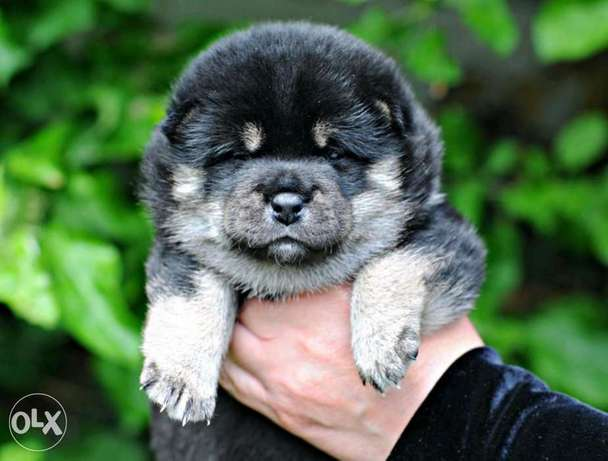 The unique colour Shiba Inu Akita Imported with all documents
