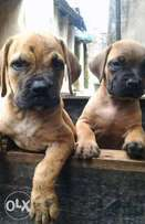 Puppies for sale ,8weeks