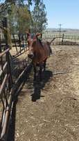 Stalion horse for sale