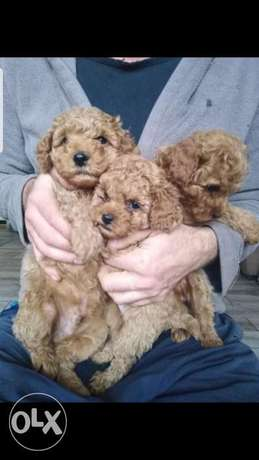 Toy poodle 6