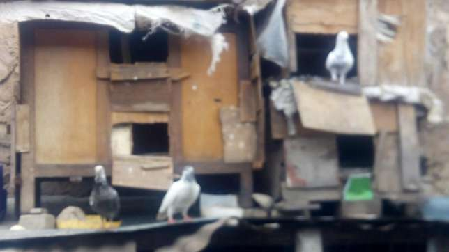 Pigeons for sale (dush) Dagoretti - image 4