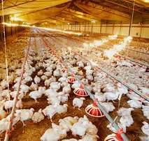 Good Quality Broiler Chicken Feeds Available