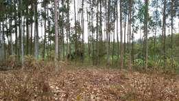 1 ACRE at Samson Corner, Kirinyaga full of Mature & Maturing trees