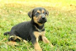 German shepherd home bred