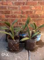 Palm Tree Seedlings