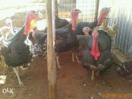 healthy mature turkeys on sell- from ksh 500