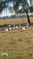 18mnt Black Swans and Gees for sale