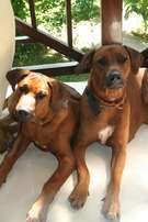 Beautiful Rhodesian Ridgeback puppies available imported pedigree