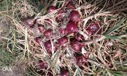 red creole bulb onions