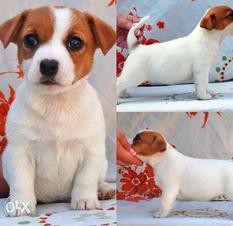 Imported jack Russell Puppies with all documents.. Males and females