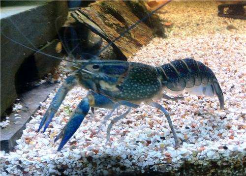 2x Australian red claw crayfish for sale - Other pets - 1006687247
