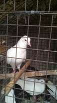 White foreign pidgin for sale