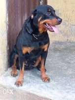 GIVEAWAY obedient and protective Rott