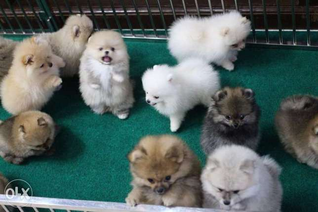Pomeranians Mini all Prices available