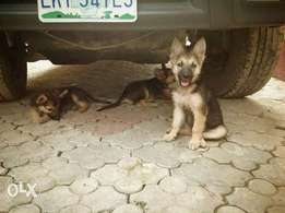 pure breed German Shepherd puppies are available for sell
