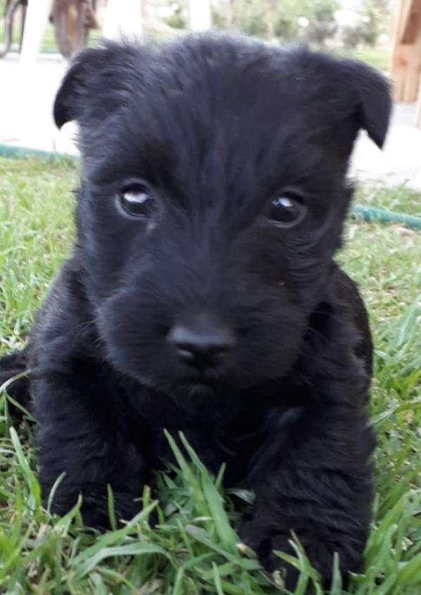 Purebred Scottish Terrier Pups For Sale Dogs Cats 1057515869 Olx